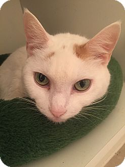 Turkish Van Cat for adoption in Worcester, Massachusetts - Marianne