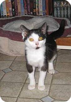 Domestic Shorthair Kitten for adoption in Kirkwood, Delaware - Picasso
