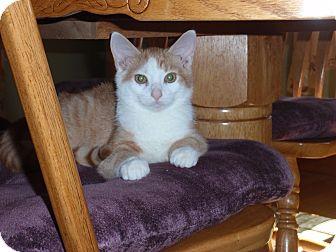 Domestic Shorthair Kitten for adoption in Carlisle, Pennsylvania - Miles