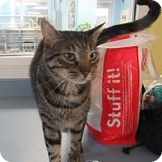 Domestic Shorthair Cat for adoption in Jackson, New Jersey - Tommy