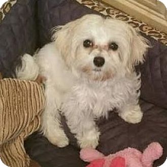 Maltese Mix Puppy for adoption in Los Angeles, California - THIMBLE