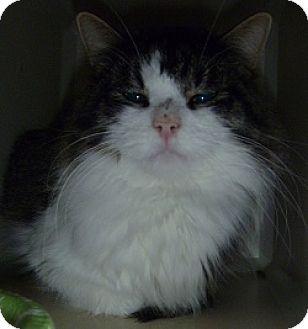 Domestic Shorthair Cat for adoption in Hamburg, New York - Chico