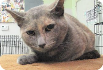 Domestic Shorthair Cat for adoption in Reeds Spring, Missouri - Mira