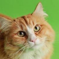 Adopt A Pet :: Kitty Bean - Longmont, CO