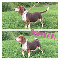 Adopt A Pet :: Samson - Kingwood, WV
