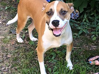 Boxer Mix Dog for adoption in Southbury, Connecticut - Danny Boy