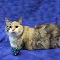 Domestic Shorthair/Domestic Shorthair Mix Cat for adoption in Slinger, Wisconsin - ISABELLA