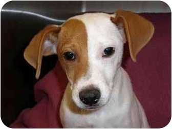 Terrier (Unknown Type, Medium)/Beagle Mix Dog for adoption in Mobile, Alabama - Maeby