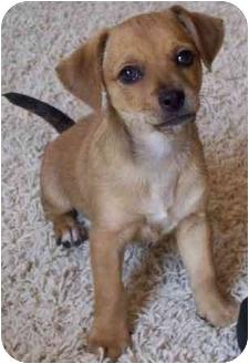 Dachshund/Chihuahua Mix Puppy for adoption in Gilbert, Arizona - J.R.