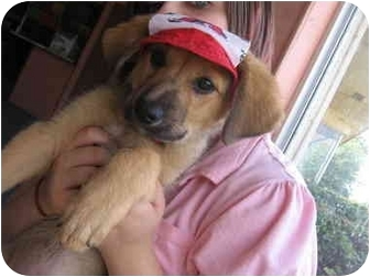 German Shepherd Dog Mix Puppy for adoption in Yorkville, Tennessee - O'Ryan