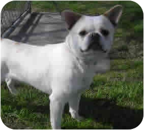 French Bulldog Mix Dog for adoption in Reno, Nevada - Aire