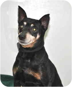 Miniature Pinscher Dog for adoption in Port Washington, New York - Fonzie