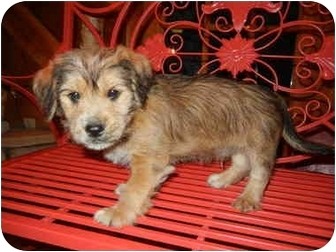 Boxer/Yorkie, Yorkshire Terrier Mix Puppy for adoption in Hartford, Connecticut - Charlie