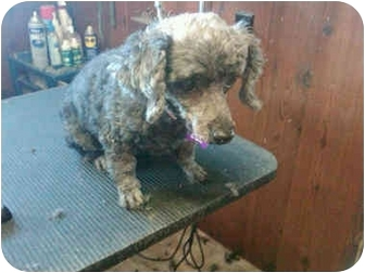 Toy Poodle Dog for adoption in Hayden, Idaho - Gee
