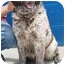 Photo 2 - Australian Shepherd/Akita Mix Dog for adoption in Inman, South Carolina - Tucker