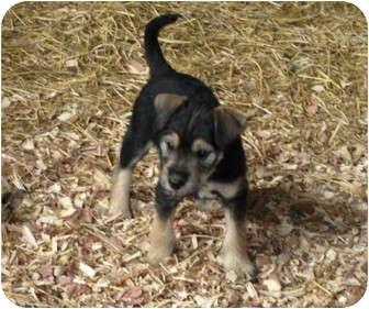 Terrier (Unknown Type, Small)/Schnauzer (Miniature) Mix Puppy for adoption in Worcester, Massachusetts - Sebastian