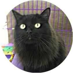 Domestic Longhair Cat for adoption in Sugar Land, Texas - -Mooshu