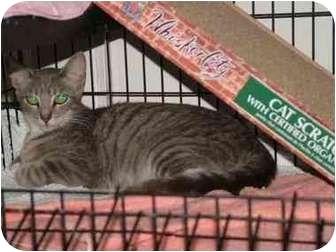 Domestic Shorthair Cat for adoption in San Diego/North County, California - Gracie