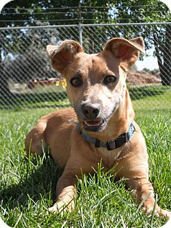 Terrier (Unknown Type, Small)/Chihuahua Mix Dog for adoption in Jerome, Idaho - Morey # 5093