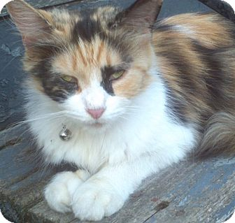 Maine Coon Cat for adoption in Syracuse, New York - Misty