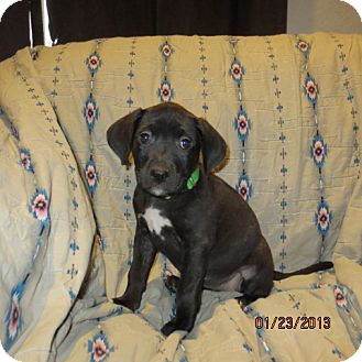 Retriever (Unknown Type)/Catahoula Leopard Dog Mix Puppy for adoption in Westminster, Colorado - Fig