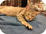Domestic Shorthair Kitten for adoption in Pittstown, New Jersey - Tipsy