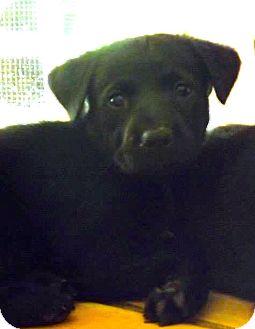 Labrador Retriever/Rottweiler Mix Puppy for adoption in Miami, Florida - Onyx