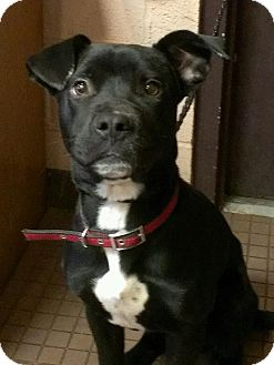 Labrador Retriever/Pit Bull Terrier Mix Puppy for adoption in West Hartford, Connecticut - Marco