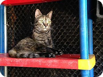 Domestic Shorthair Cat for adoption in Groveland, Florida - Annabeth