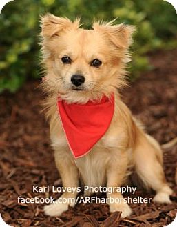 Pomeranian Mix Dog for adoption in West Los Angeles, California - Linus