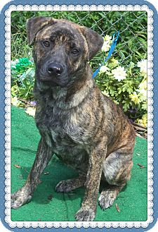 Plott Hound/Labrador Retriever Mix Puppy for adoption in Marietta, Georgia - MAX