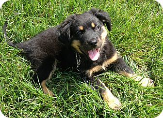 Shepherd (Unknown Type) Mix Puppy for adoption in Manchester, New Hampshire - Brees