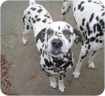 Dalmatian Mix Dog for adoption in League City, Texas - Lucky 7