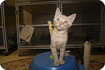 Domestic Shorthair Kitten for adoption in Trevose, Pennsylvania - Eggroll