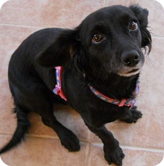 Dachshund/Cocker Spaniel Mix Dog for adoption in dewey, Arizona - Samantha