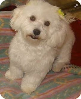 Cockapoo Mix Dog for adoption in Inland Empire, California - JILL