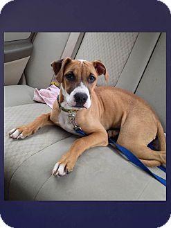 Boxer Mix Puppy for adoption in LaGrange, Kentucky - HATTIE