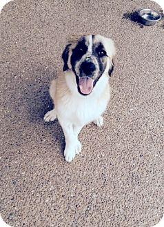 Golden Retriever/Shepherd (Unknown Type) Mix Puppy for adoption in McKinney, Texas - Chloe