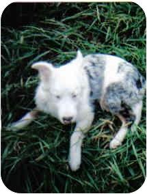Australian Shepherd Puppy for adoption in Corryton, Tennessee - Bonnie Blue