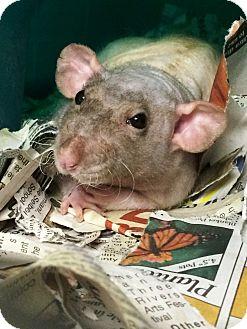 Rat for adoption in Edinburg, Pennsylvania - Gizmo