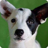 Adopt A Pet :: Cowgirl - Hamburg, PA