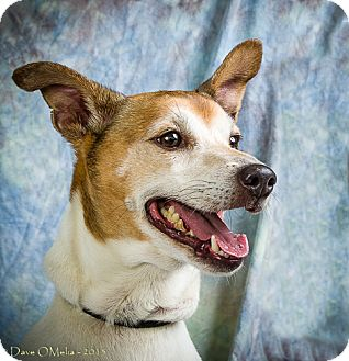 Jack Russell Terrier Mix Dog for adoption in Anna, Illinois - WINSTON