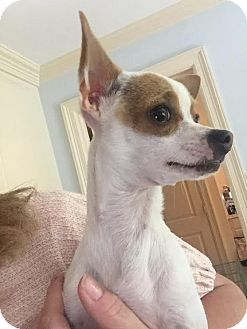 Chihuahua Mix Puppy for adoption in Saddle Brook, New Jersey - Gracie