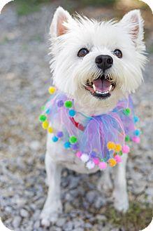 Westie, West Highland White Terrier Dog for adoption in Allentown, Pennsylvania - Bella