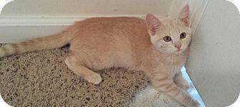 Domestic Shorthair Kitten for adoption in Cedar Springs, Michigan - Powder