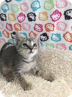 Domestic Shorthair Kitten for adoption in Fountain Hills, Arizona - CARLOTTA