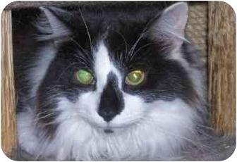 Domestic Longhair Cat for adoption in cincinnati, Ohio - FLUFFY Benedict