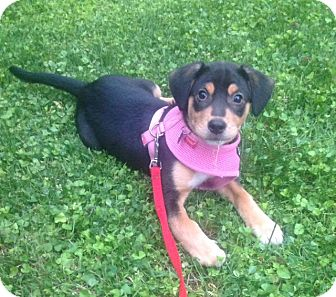 Beagle/Coonhound Mix Puppy for adoption in Baltimore, Maryland - Marcie