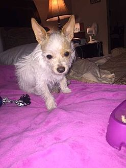 Terrier (Unknown Type, Small) Dog for adoption in Livermore, California - Gracie