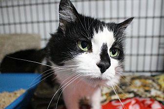 Domestic Longhair Cat for adoption in Ashland, Ohio - Fluffy